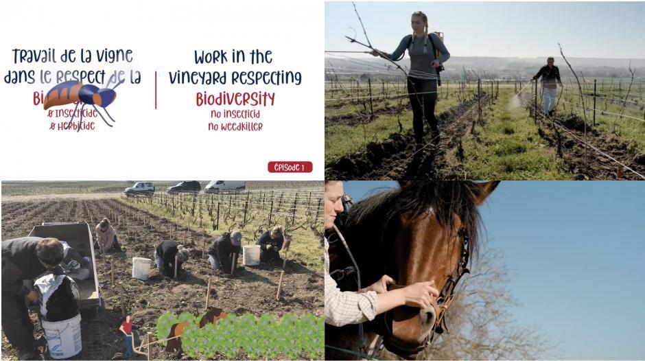 video 1 sur travail du sol biodiversité au champagne piot sevillano